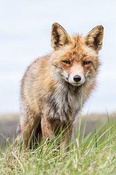 Fox schaut in die Kamera von William Linders