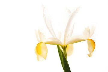 Narcisse sur henja kooijman