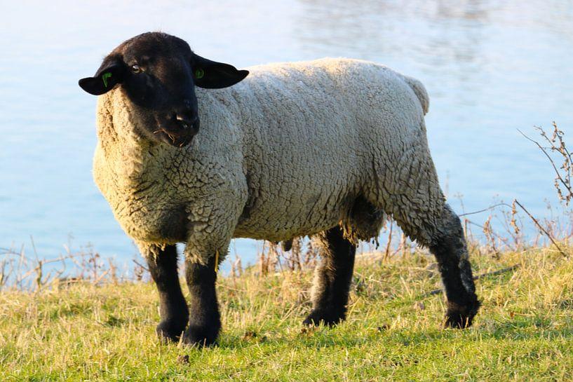 Een witte schaap in de vrije natuur van Jennifer Hendriks