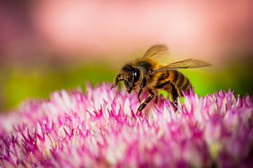Honingbij van Matthijs Veltmeijer