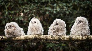 Vier junge hölzerne Eulen