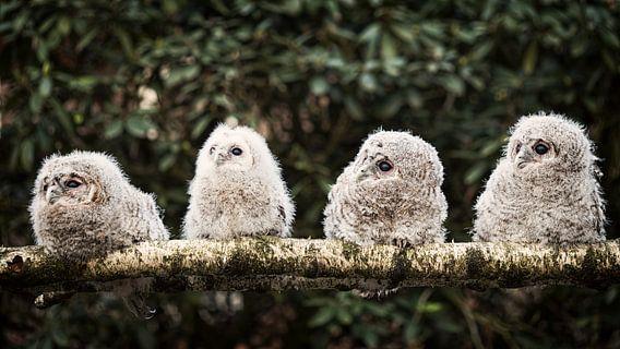 Vier junge hölzerne Eulen von Lex Schulte