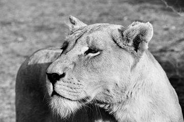 Lion Female Portrait bw 4882 van Barbara Fraatz