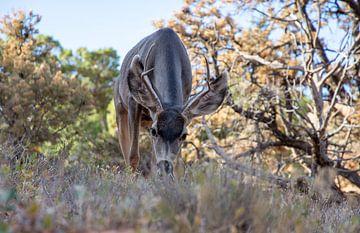 Muildierhert staat te grazen in Arches National Park, Verenigde Staten van Maarten Oerlemans