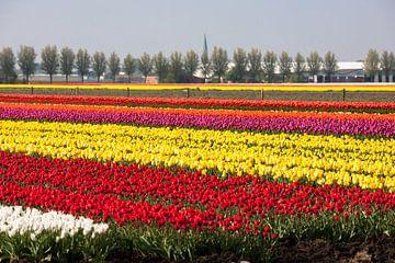 Tulpenveld van Jim van Iterson