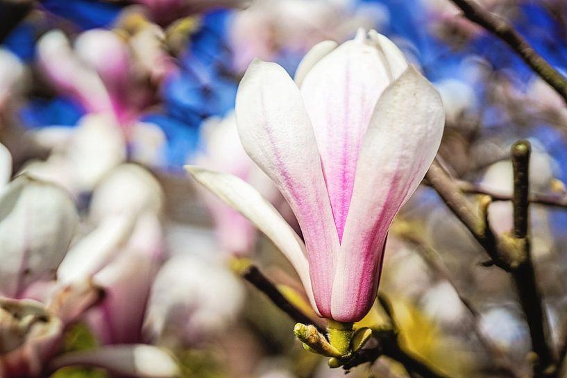 Magnolia van Anita Servaas