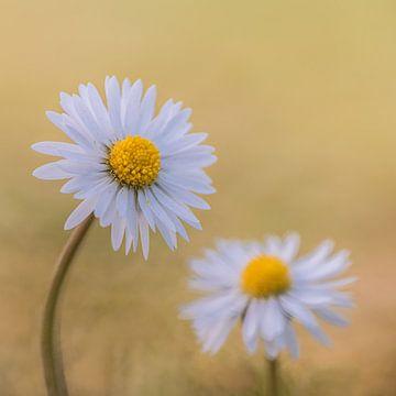 Gänseblümchen von Yvon van der Laan