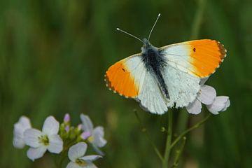Orangefarbene Spitze der Kuckucksblume von Jeroen van Deel