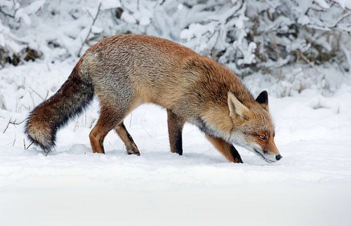 Een vos in de winter