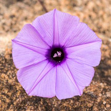 Bloem: Purple heart van Rob Smit