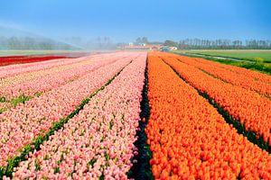 Roze en oranje tulpenveld in de lente