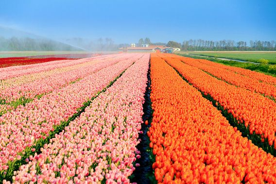 Roze en oranje tulpenveld in de lente van Dennis van de Water