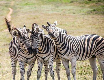 drei Zebras von Ivo de Rooij
