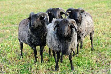 Vier Heidschnucken - Schafe in der Lüneburger Heide von Gisela Scheffbuch