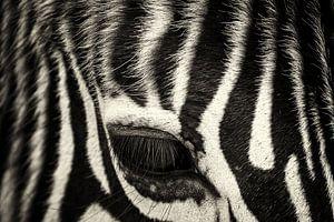 Zebraauge Nahaufnahme von Ed Dorrestein