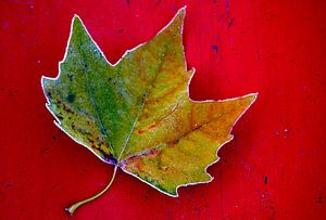 Herfst Blad op rood. van