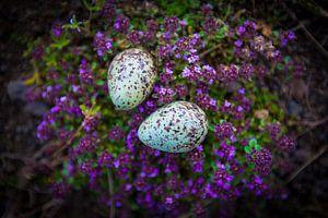 IJslandse eitjes