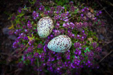 IJslandse eitjes van Michiel van Druten