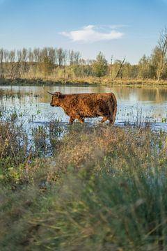 Schotse Hooglander in de polder bij Broekpolder, vlaardingervaart van Rossum-Fotografie