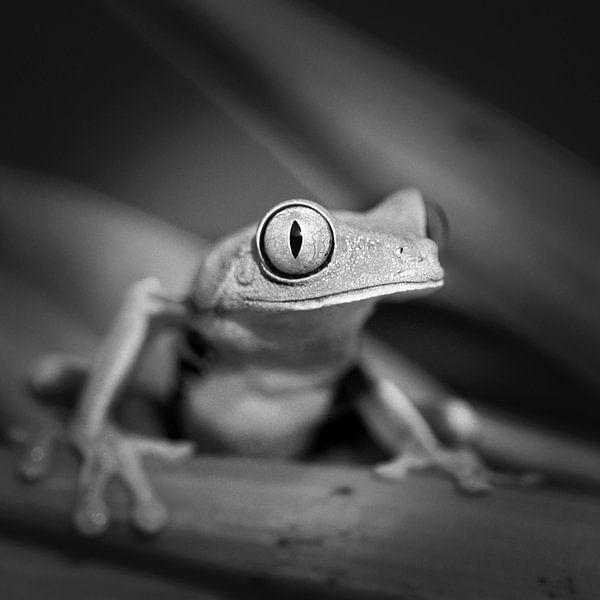 Grenouille aux yeux rouges sur Frans Lemmens