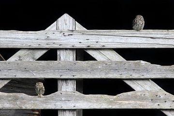 Twee Steenuiltjes op een hek von LTD photo