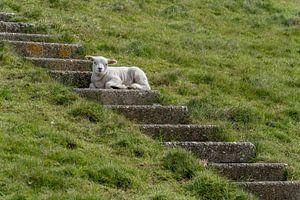 Agneau au frais dans les escaliers - Texel