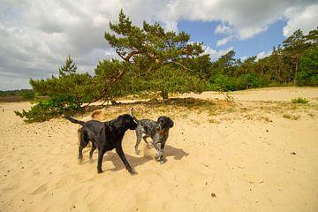 Spelende honden in de zand duinen bij een boom van Marco Leeggangers