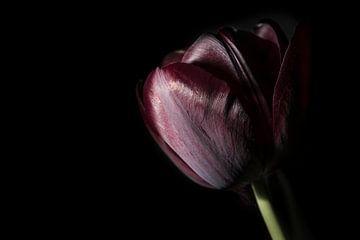 Tulpe von Geert-Jan Timmermans