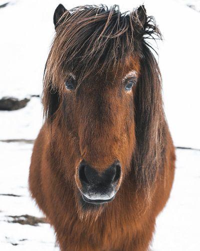 Islandpferd (Isländisch) im Schnee im Winter in Island von Michiel Dros