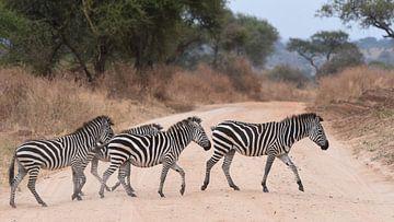 Gruppe von Zebras überquert die Straße von Koolspix