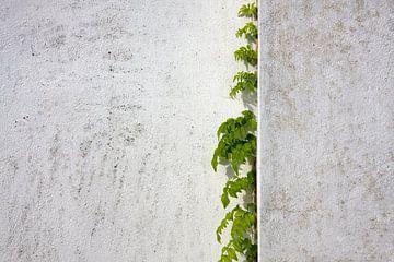 Blauweregen klimt gepleisterde muur van Jan Brons