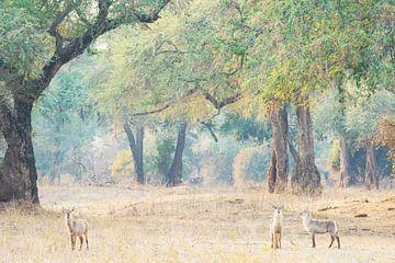 Waterbokken in Afrikaans landschap van Francis Dost