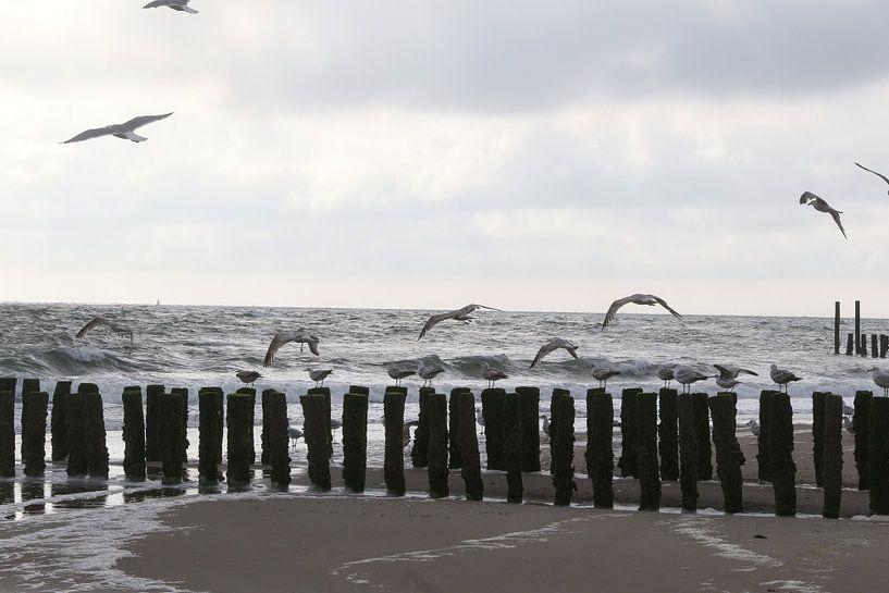 meeuwen op het strand in zeeland van Frans Versteden