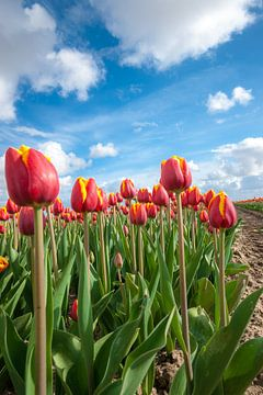 Holländisches Blumenzwiebelfeld mit den roten Tulpen von Fotografiecor .nl