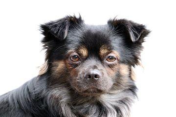Langharige Chihuahua van Clicksby JB