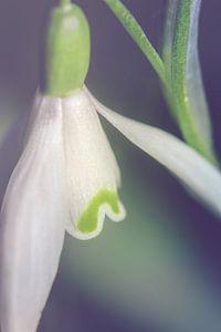 Sneeuwklokje, dichtbij (Galanthus nivalis) van