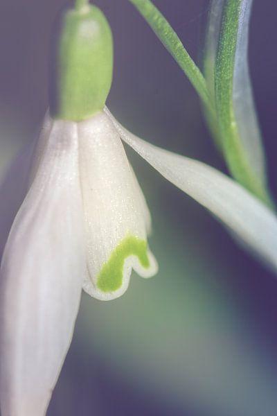Sneeuwklokje, dichtbij (Galanthus nivalis)