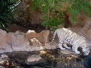 Een prachtige exotische bengaalse tijger aan het drinken. A Beautiful Bengal Tiger drinking. van Jeffrey Glas