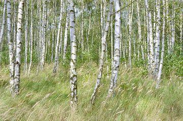 Birkenwald von Violetta Honkisz