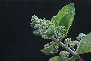 Hortensia (plume) von