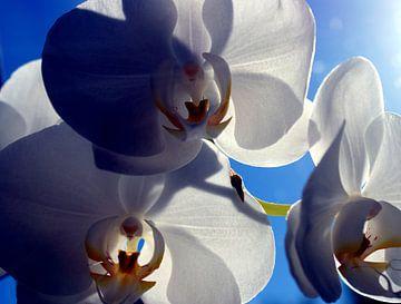 weiße Ocrhidee Morgensonne von Remko van der Hoek- Zijdemans