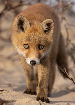 Closeup van jonge vos