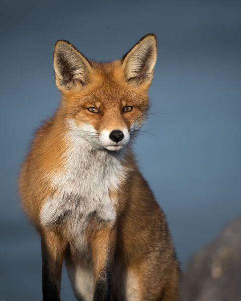 Curious red fox! van Robert Kok