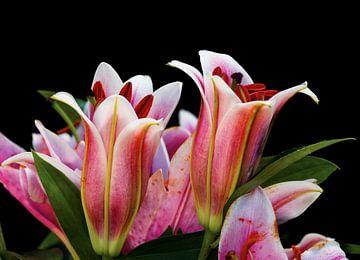 Roze lelie kelken op een zwarte achtergrond van J..M de Jong-Jansen
