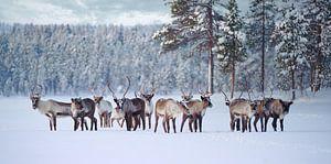 Rendierkudde in Pasvik Nationaal Park van Kai Müller