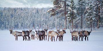 Rentierherde im Pasvik Nationalpark von Kai Müller