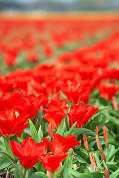 Rote Tulpen auf dem Feld von Anouschka Hendriks