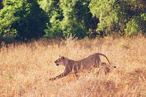 Leeuwin tijdens de jacht van Cinthia Mulders
