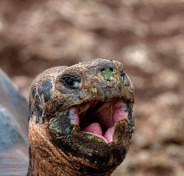 Galapagosreuzenschildpad van Maarten Verhees
