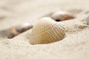 Schelpje in 't zand